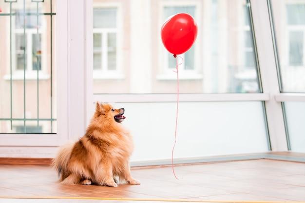 작은 푹신한 포메라니안이 발렌타인 데이의 상징 인 집에서 하트 모양의 풍선을보고 있습니다.