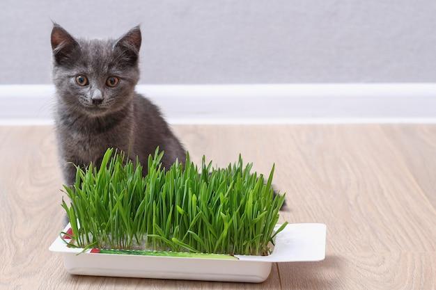 小さな灰色の子猫は緑の草を食べて毛皮を繁殖させます猫はオーツ麦のビタミン源を食べます