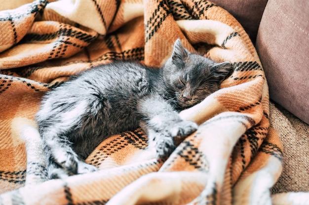 小さな灰色の子猫が羊毛の毛布の上で眠っています。 。高品質の写真