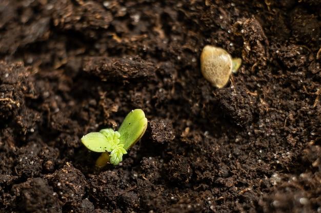 작은 녹색 대마초 새싹이 땅에서 나왔다