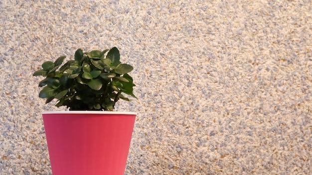 Маленькое зеленое растение в розовом цветочном горшке у стены, выкрашенное в пурпурный цвет. красивый нежный и яркий фон с копией пространства. зеленый цветок, денежное дерево с розовым стенным фоном.