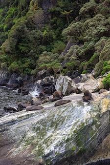 Небольшая группа морских котиков отдыхает среди обломков скал в новой зеландии.