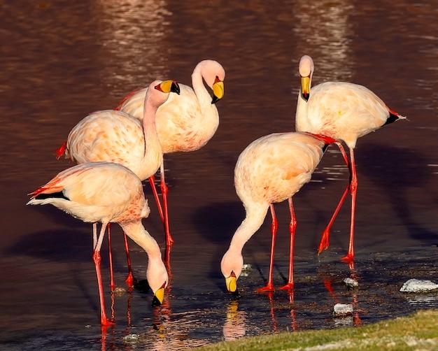 ジェームズフラミンゴの小さなグループは、ラグナコロラダで食事をして休んでいます。アルティプラーノ。ボリビア。南アメリカ