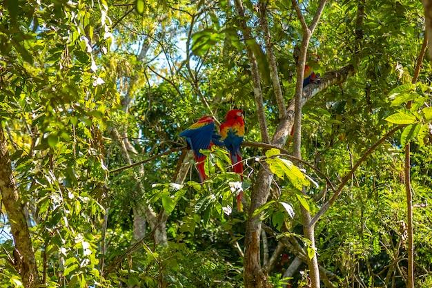 ホンジュラスのコパンルイナスにいるコンゴウインコの小さなグループ
