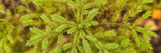 Небольшая вечнозеленая ель или пихта, растущие в осеннем лесу среди опавших листьев. крупным планом, вид сверху. знамя