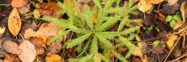Небольшая вечнозеленая ель или пихта, растущие в осеннем лесу среди опавших листьев. вид сверху. знамя