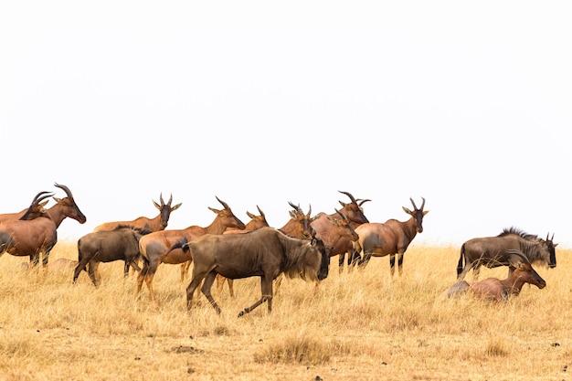 Небольшое стадо конгоний антилоп кения африка