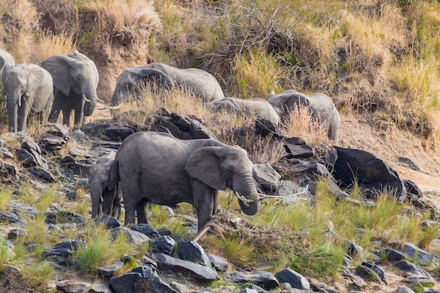 Небольшое стадо слонов на берегу реки масаи мара кения африка