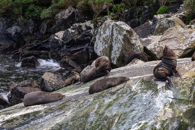 Небольшое стадо морских котиков отдыхает среди обломков скал новой зеландии.