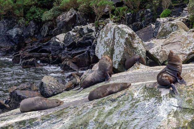 Небольшое стадо морских котиков отдыхает среди камней новая зеландия