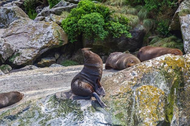 Небольшое стадо морских котиков отдыхает на огромном валуне в новой зеландии.