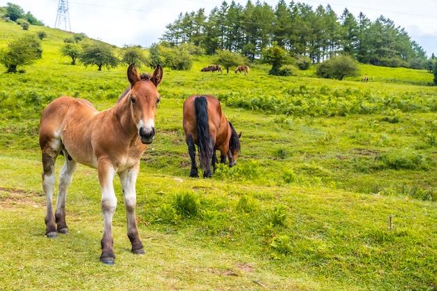 山を登る途中の小さな馬。ギプスコアで最高のアイスコリ山1523メートル。バスク。 san adrianを登ってoltzaフィールドに戻る