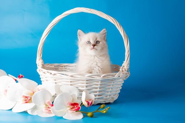 Маленький котенок в корзине на синем фоне