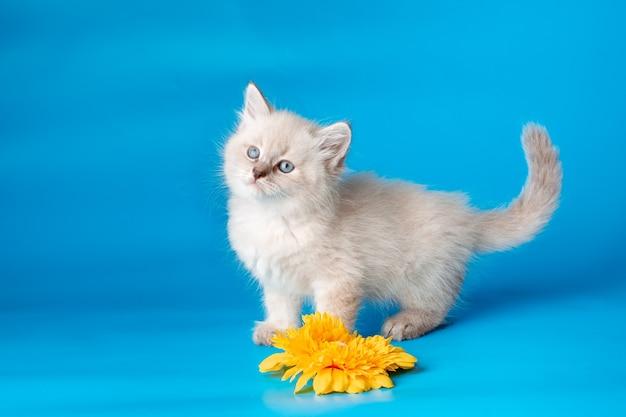 Маленький котенок с цветком на синем фоне
