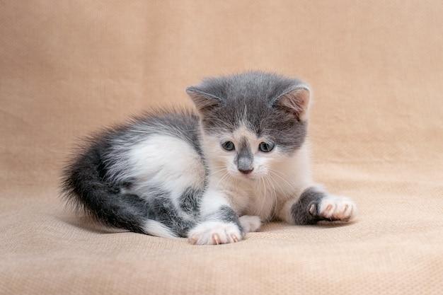 흰색과 회색 모피를 가진 작은 새끼 고양이가 소파에 누워 있습니다.