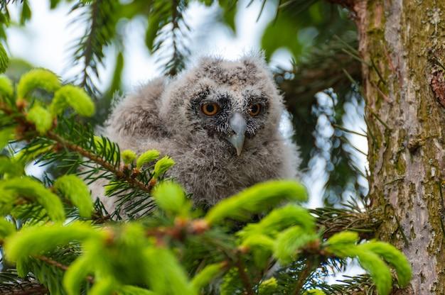 Маленькая ушастая сова сидит на ветке дерева в лесу. малышка ушастая сова в лесу