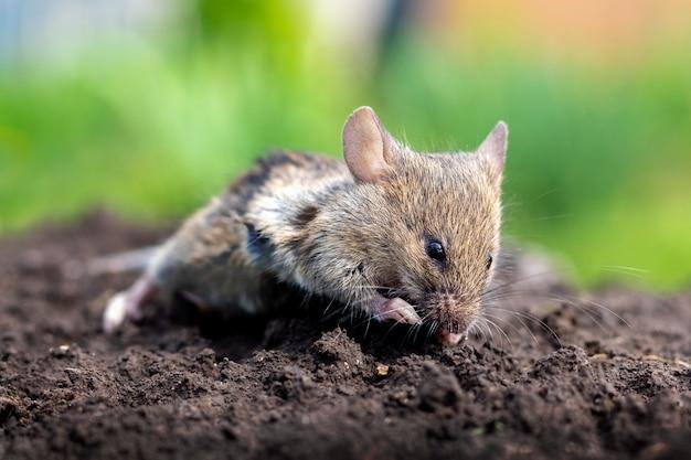 晴天時の土壌表面に小さなマウス