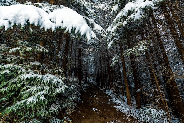 눈 덮인 울창한 숲에서 하얀 눈으로 덮인 상록수 사이의 작은 좁은 길은 카르 파티 아 산맥으로 이어집니다