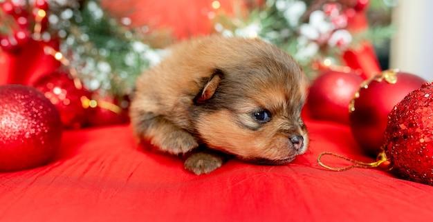 小さな新生児の子犬は、クリスマスの装飾の中で赤い背景の上にあります。