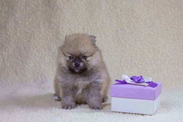 한 달 된 작은 포메라니안 강아지가 선물 상자 옆에 앉아 카메라를 바라 봅니다. 휴일 및 선물 개념, 선물로 강아지.
