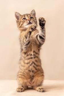 작은 장난기 많은 줄무늬 고양이가 뒷다리에 서 있다