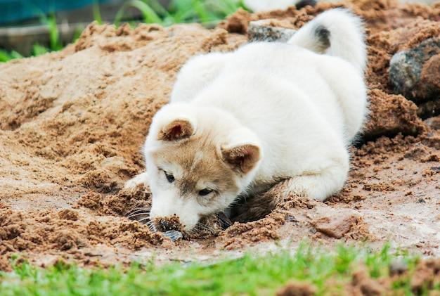 Маленький щенок западно-сибирской хаски роет ямку в песке и прячет там голову милый питомец ...