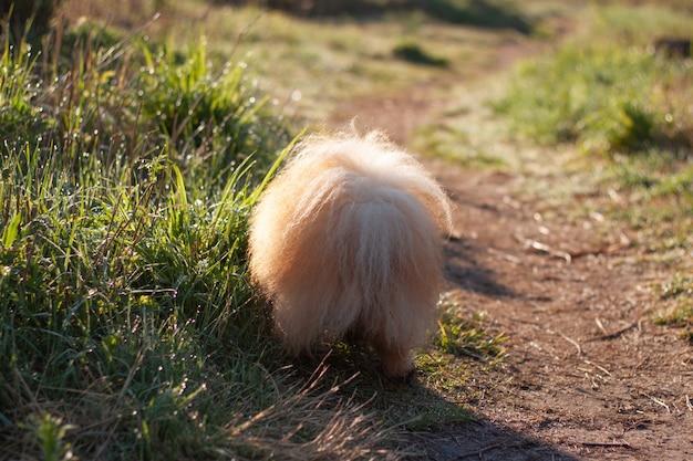 작은 빨간 솜털 강아지 포메라니안 포메라니안이 뒤로 서 있는 것을 보면 풀밭 둘레길에 솜털 꼬리가 보입니다.