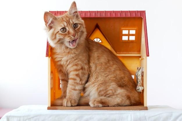 Маленький рыжий котенок сидит в игрушечном домике и открыл пасть, облизывая язык.