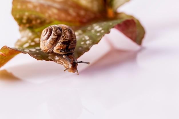 小さなカタツムリが白いテーブルの緑の葉の上を這う。