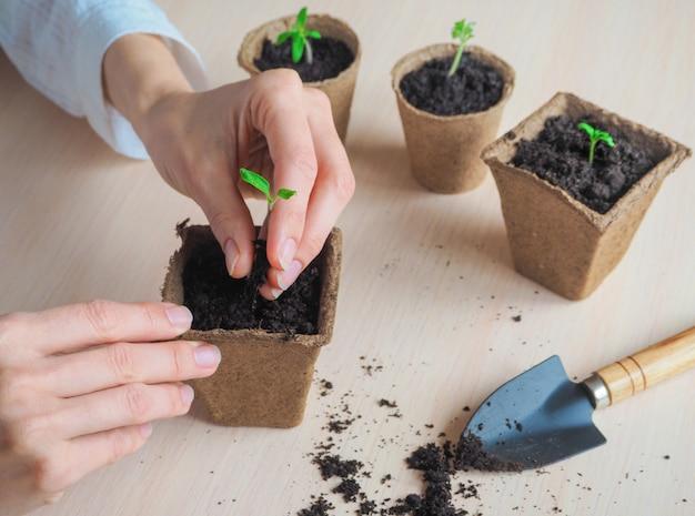 泥炭ポットの小さな芽。春の種子の発芽。