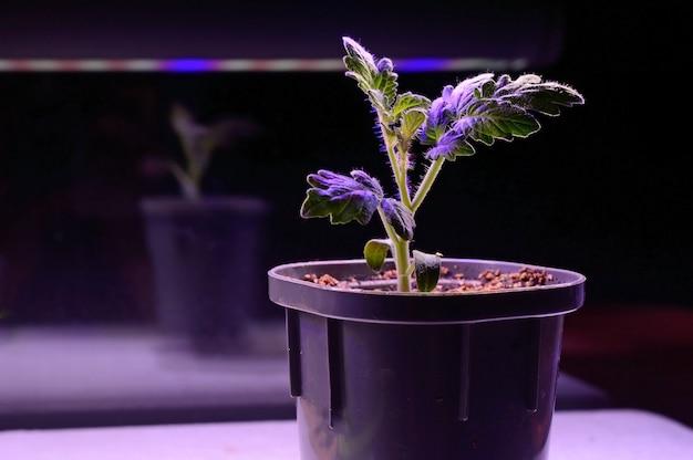 Phytolamp의 빛 아래 냄비에 작은 새싹. 확대.