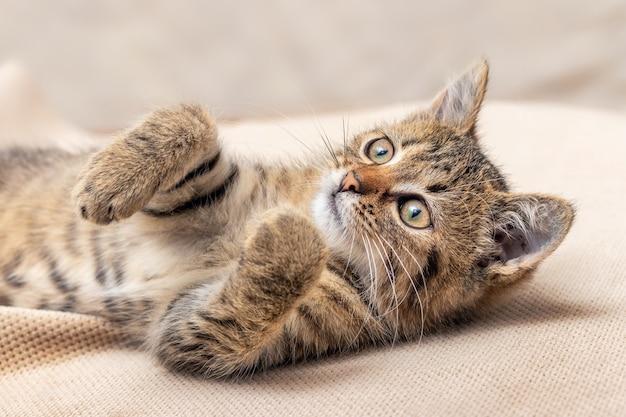 작은 줄무늬 장난기 어린 새끼 고양이는 발을 들고 누워 있습니다