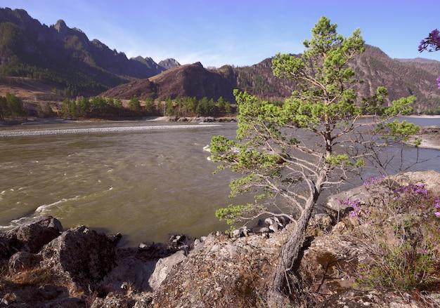 Небольшое деревце на скалах горной реки. солнечное, голубое небо, дикая природа. алтай, россия, 2019