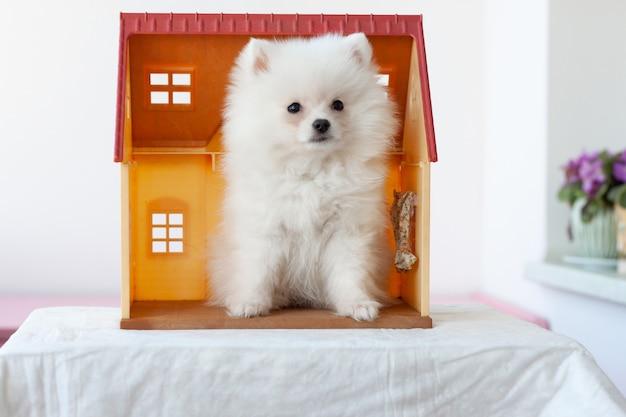 小さな白いふわふわのポメラニアンの子犬がおもちゃの家に座っています。