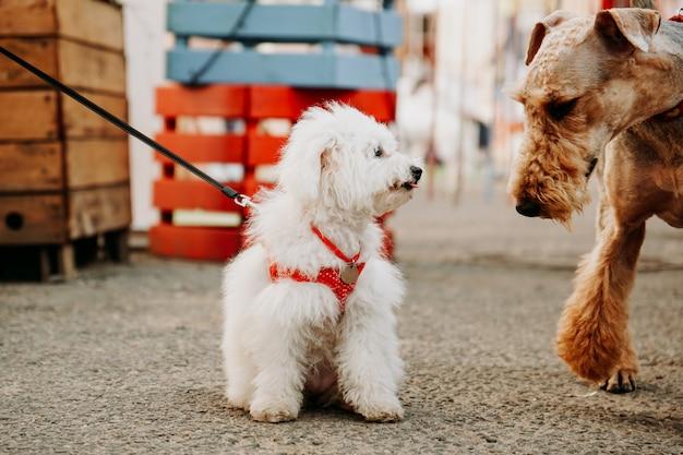 빨간 목줄이 달린 작은 흰색 lapdog이 성인 갈색 개를 맞이합니다. 도시의 도그쇼와 도그마켓
