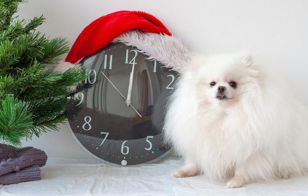 サンタクロースの帽子をかぶった時計の横にある小さな白いポメラニアン犬