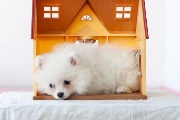 小さな白い悲しいポメラニアンの子犬がおもちゃの家に横たわっています。