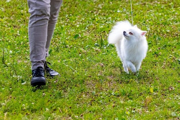 公園を散歩中に愛人の近くにいる小さな白いスピッツ犬