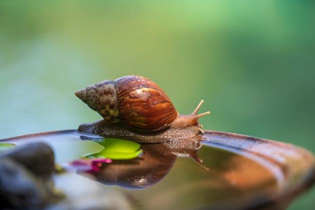 貝殻のカタツムリが水でセラミックポットを這う、庭で夏の日、クローズアップ、島バリ島、インドネシア