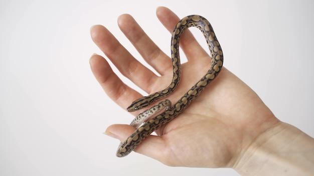 뱀이 손에 기어 간다. 보아 압축 근접 촬영. 보아 뱀을 쓰다듬는 남자. 프리미엄 사진
