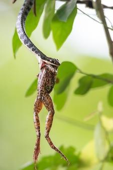 뱀이 개구리를 먹는 것은 자연의 법칙입니다. 큰 동물은 작은 동물을 먹는다