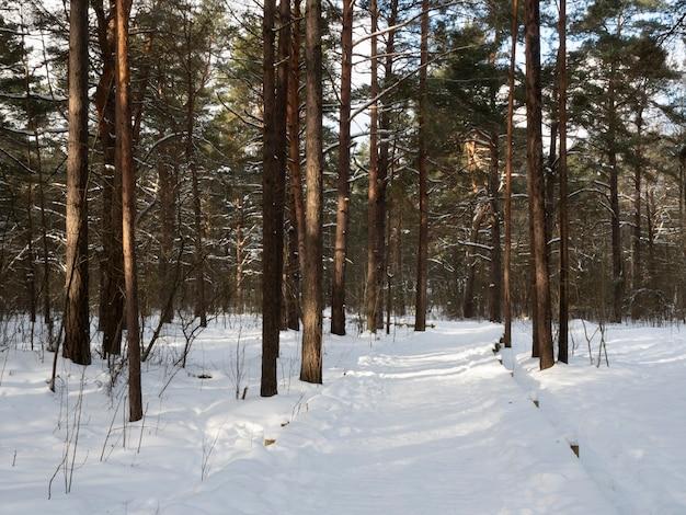 맑고 추운 겨울날 소나무 숲을 가로 지르는 눈 덮인 목조 인도교.
