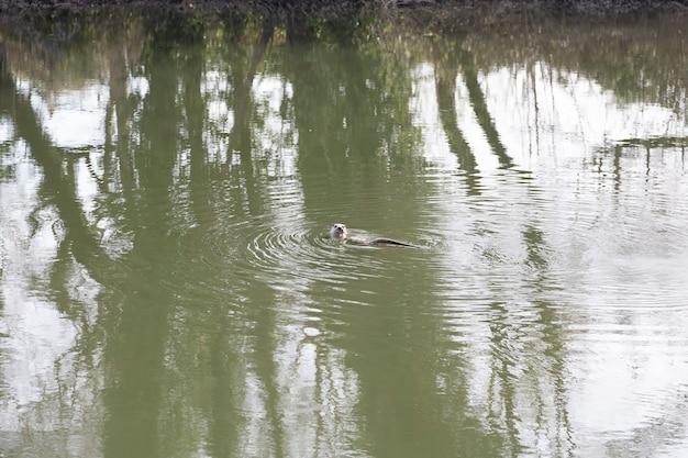 孤独なカワウソが湖で泳ぐ