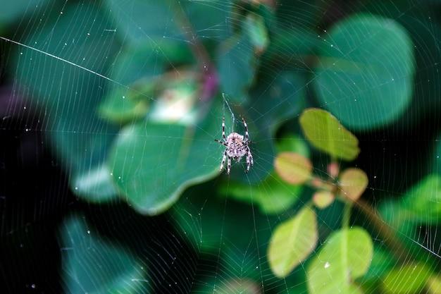 獲物を待っているクモの巣のクモ