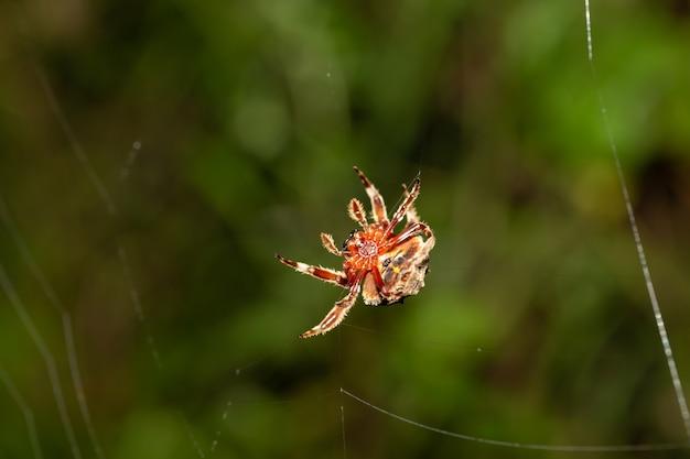 蜘蛛は熱帯雨林でその網を織ります。