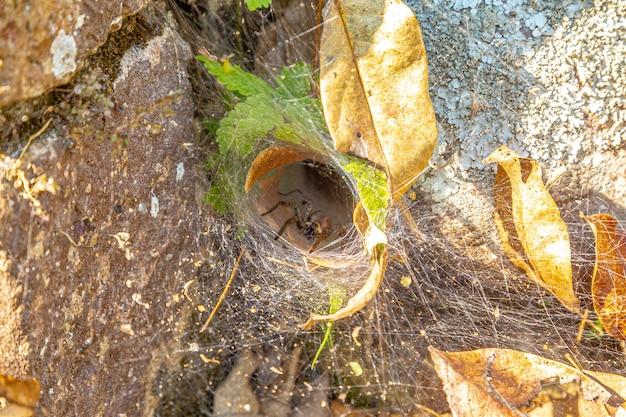 クモの巣から出てくる長い脚を持つクモ