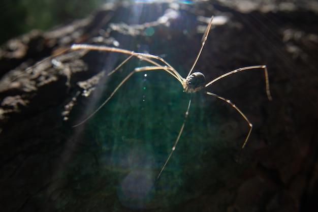 長い脚を持つクモが木の樹皮に沿って這っています。晴れた日。太陽の明るい光線がクモを照らします。