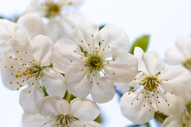 Весна цветущая ветка на фоне голубого неба.