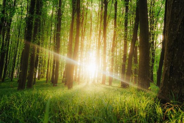 春の森の木。自然の緑の木の日光