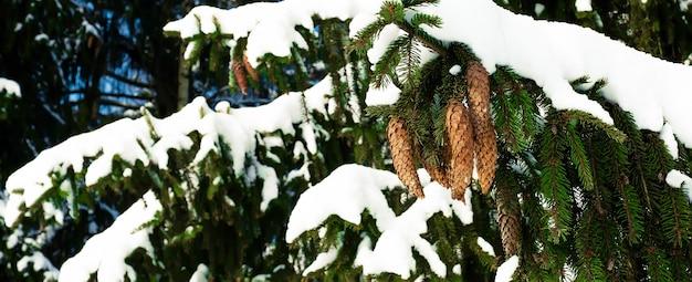Еловая ветка с зелеными иголками с шишками, покрытая снегом зимой на фоне голубого неба.